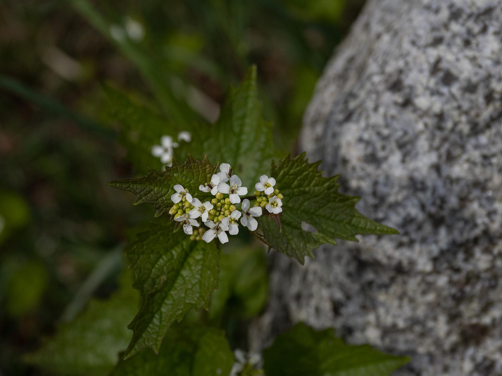 Чесночница черешчатая (Alliaria petiolata) растёт в Стокгольме повсеместно, как в лесу так и в черте города. Автор фото: Сутормина Марина