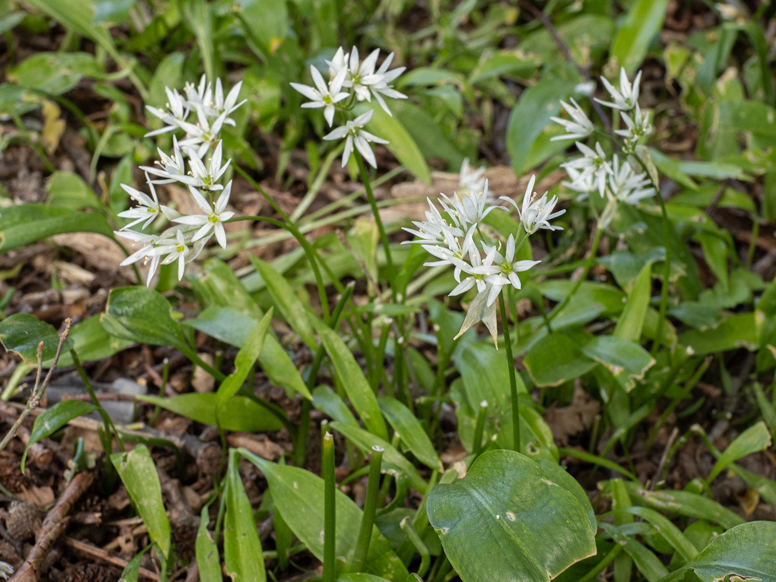 Черемша (Allium ursinum). Автор фото: Сутормина Марина