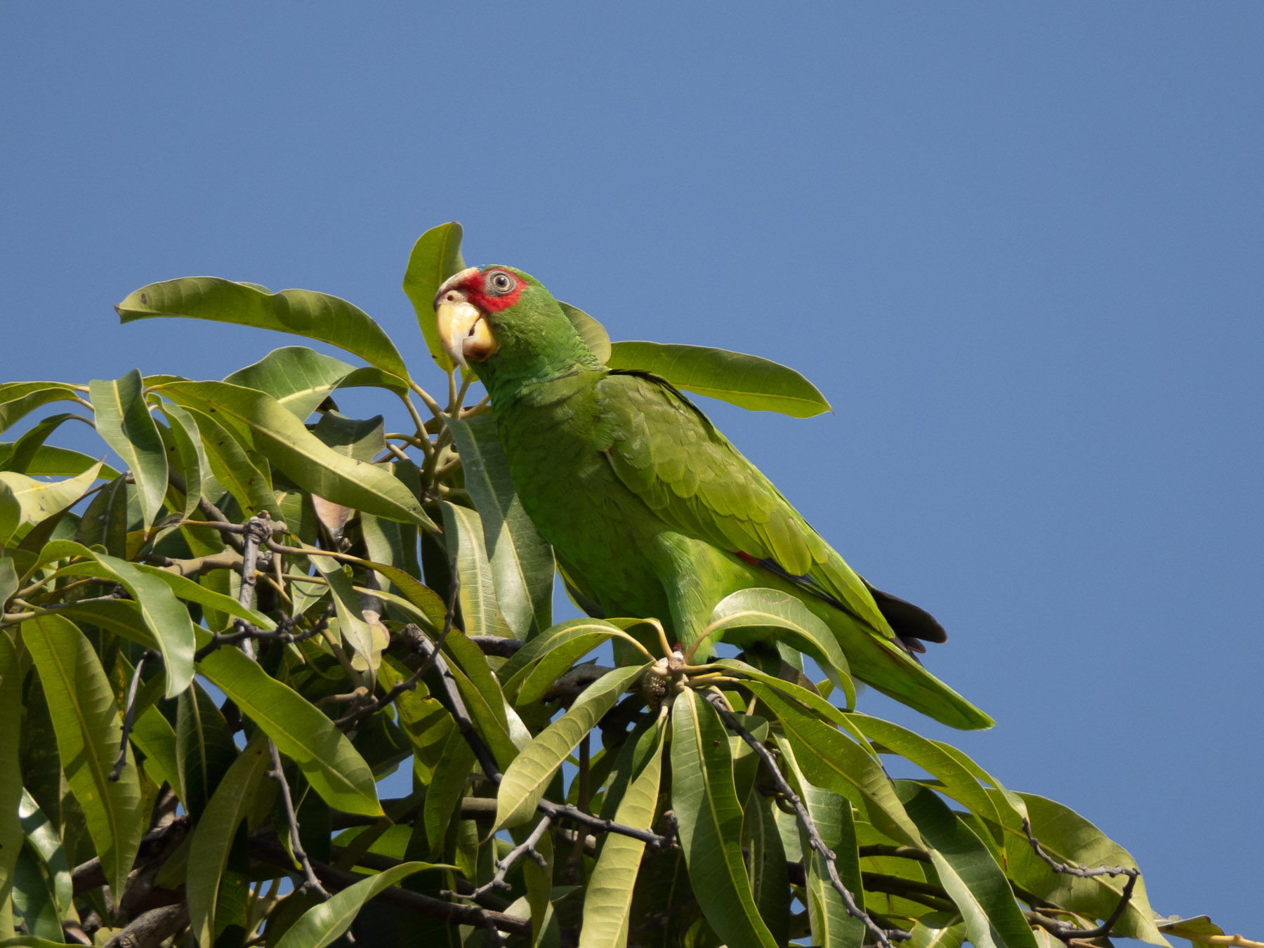 Белолобый амазон (Amazona albifrons)