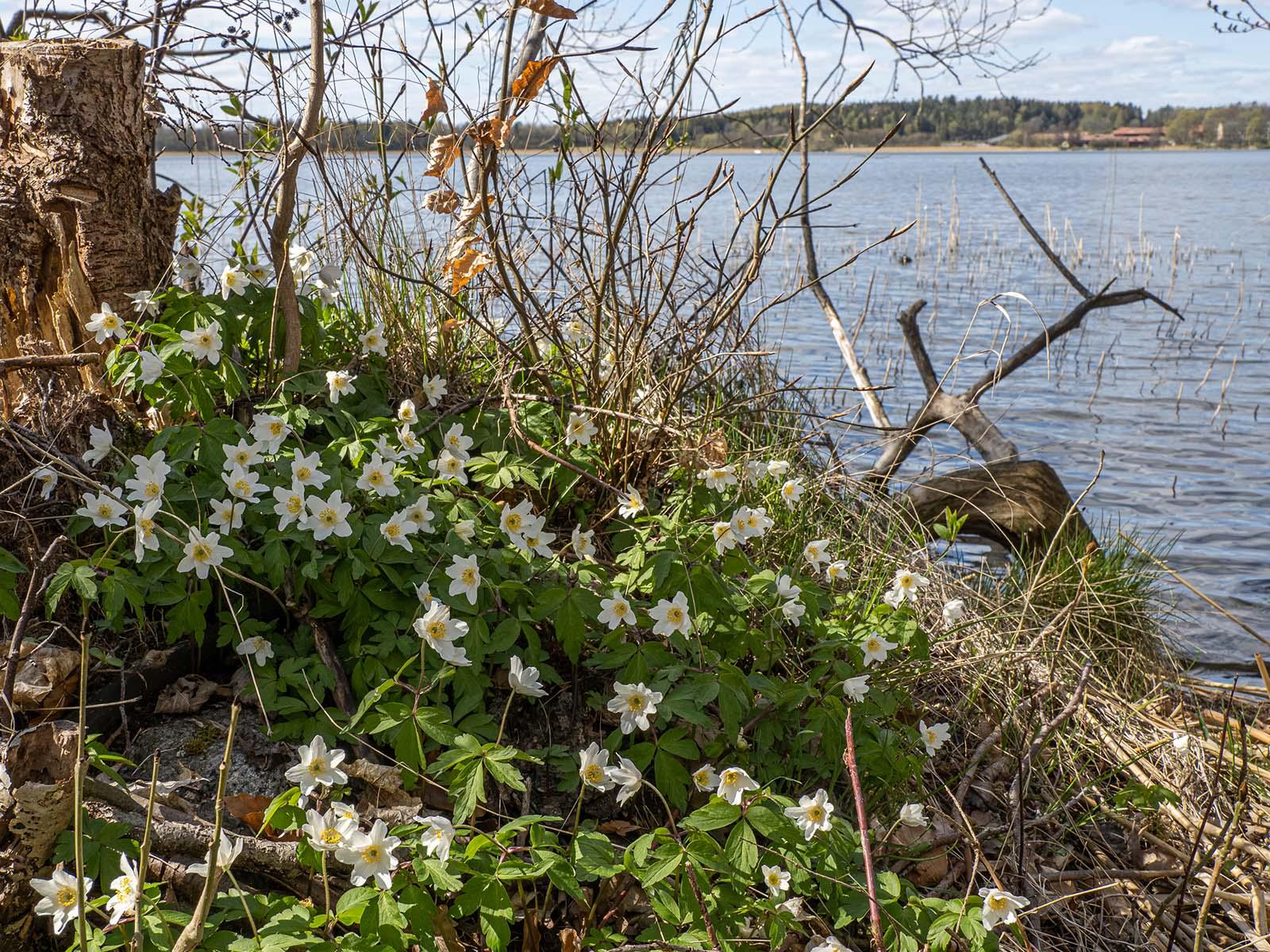 Ветреница дубравная (Anemone nemorosa) на берегу озера Mälaren, Стокгольм. Апрель 2020 года. Автор фото: Сутормина Марина