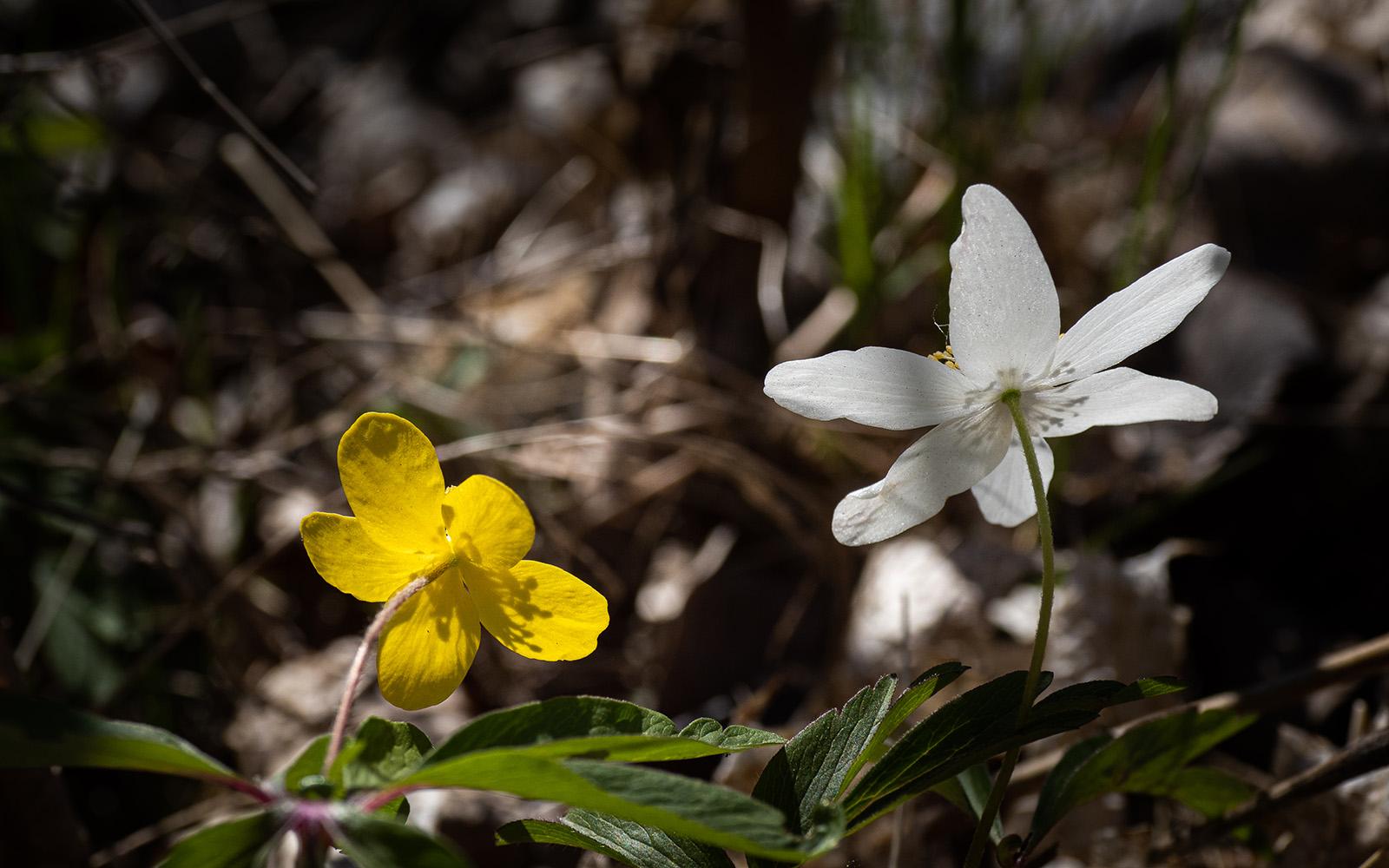 Ветреница лютиковидная (Anemone ranunculoides) и Ветреница дубравная (Anemone nemorosa) на берегу озера Mälaren, Стокгольм. Апрель 2020 года. Автор фото: Сутормина Марина