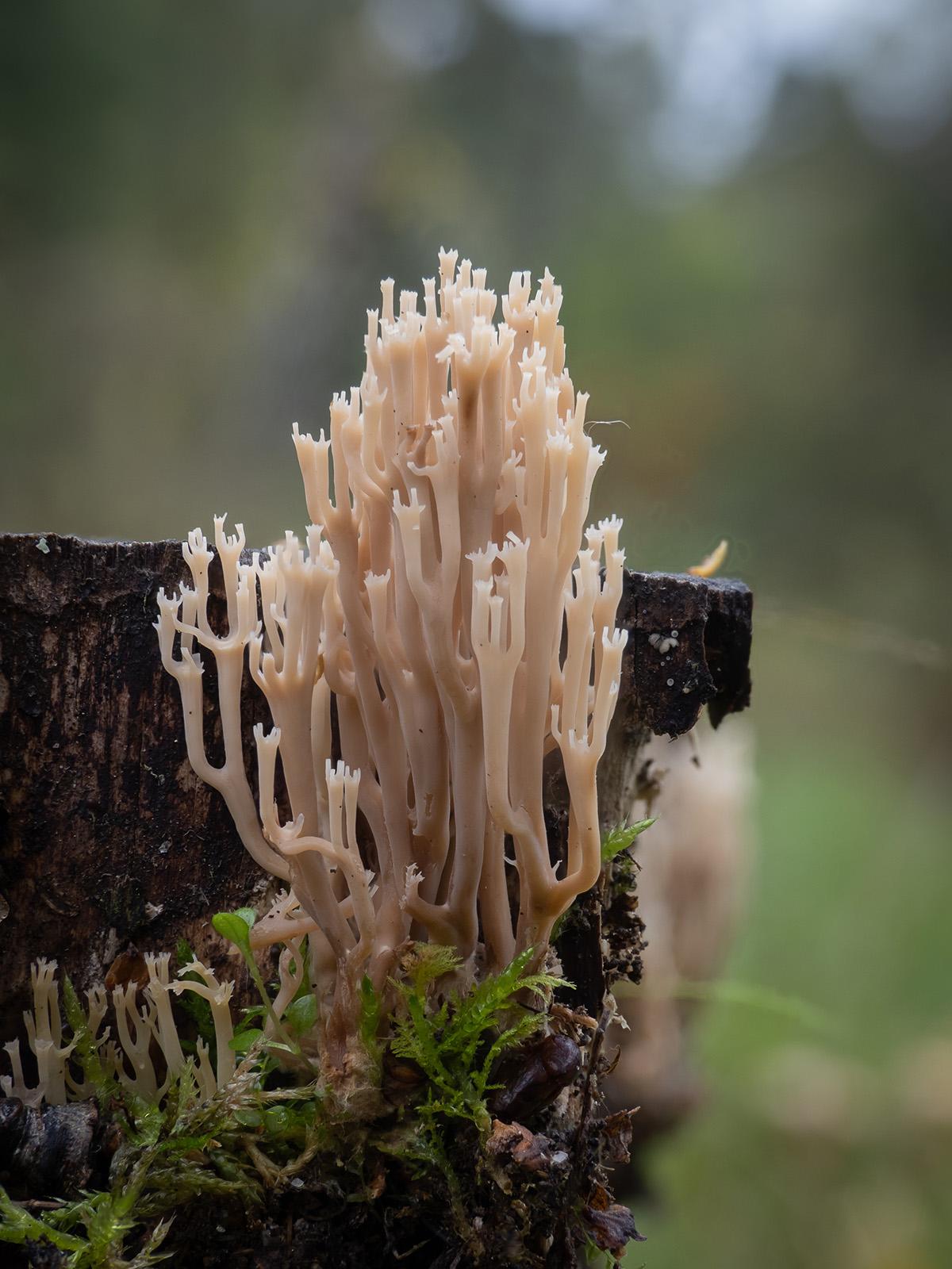 Клавикорона крыночковидная (Artomyces pyxidatus). Автор фото: Сутормина Марина