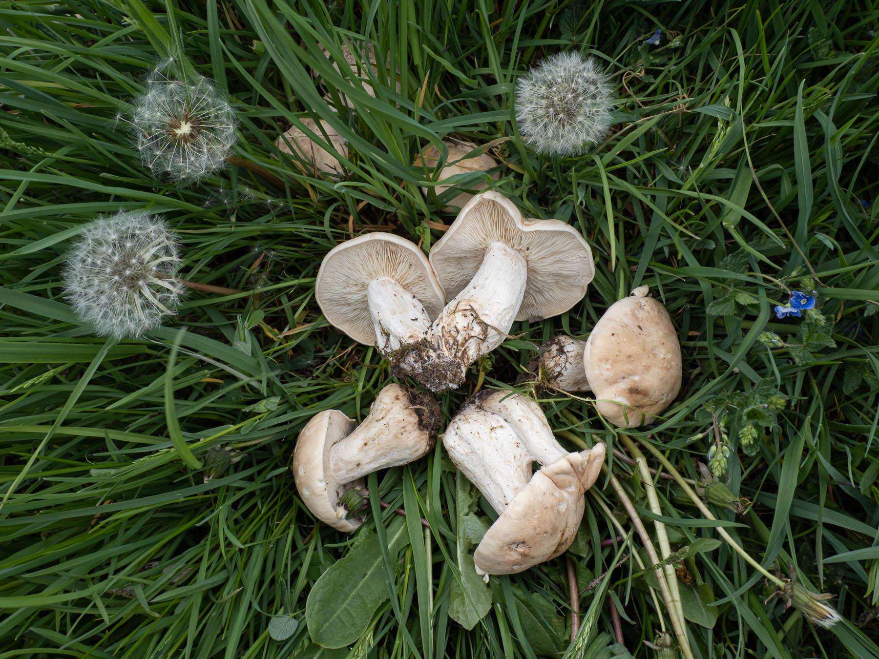 Калоцибе майский (Calocybe gambosa) или рядовка майская. Найдены на овечьем пастбище в природном парке Görvälns naturreservat в мае 2020 года. Грибы росли образуя большие ведьмины круги, хорошо заметные по траве более тёмного цвета. Автор фото: Сутормина Марина