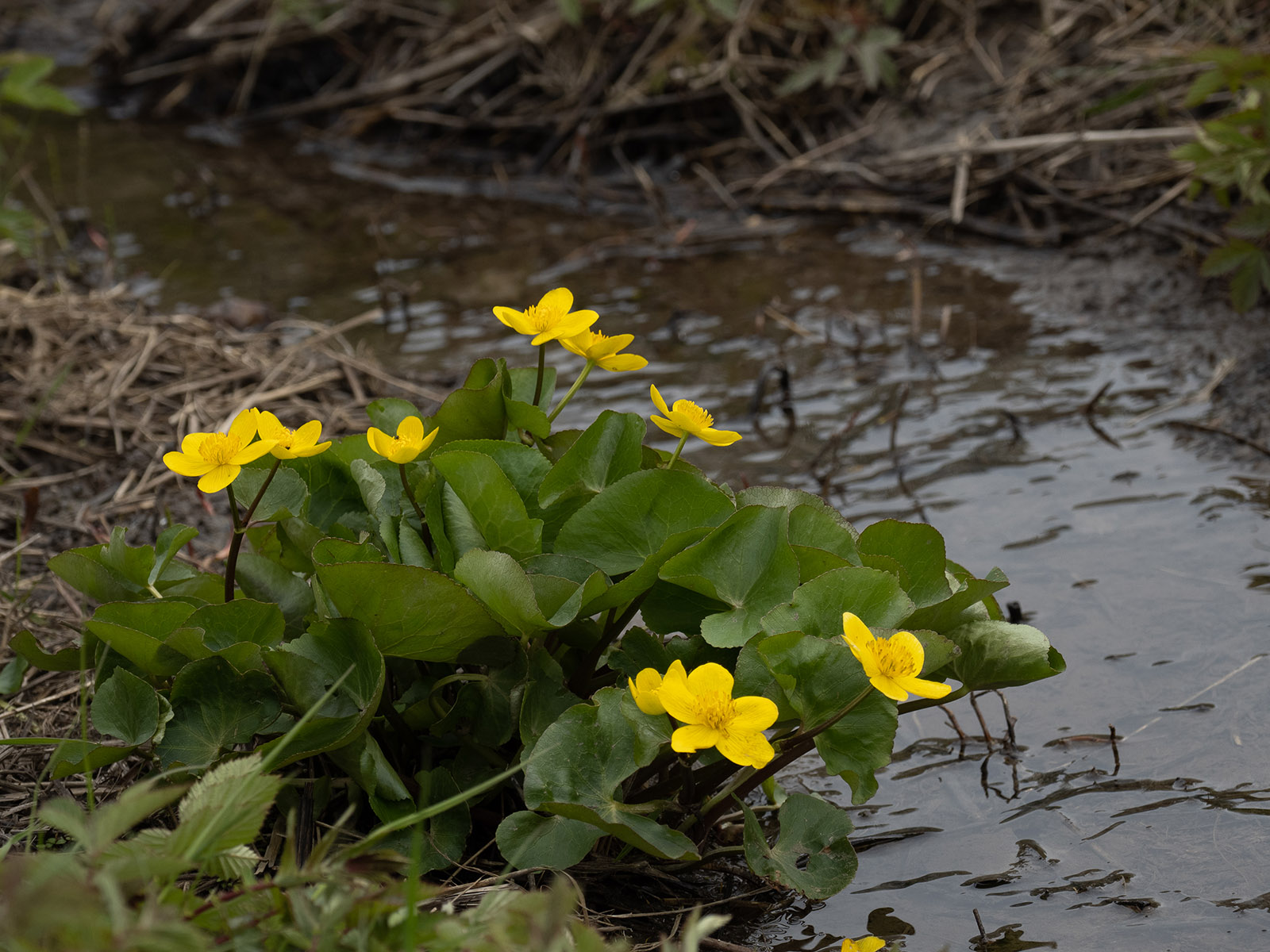 Калужница болотная (Caltha palustris). Автор фото: Сутормина Марина