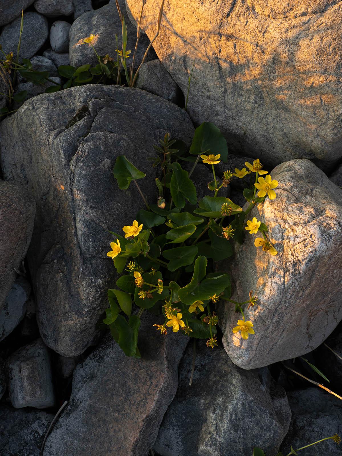 Калужница болотная (Caltha palustris) Автор фото: Сутормина Марина