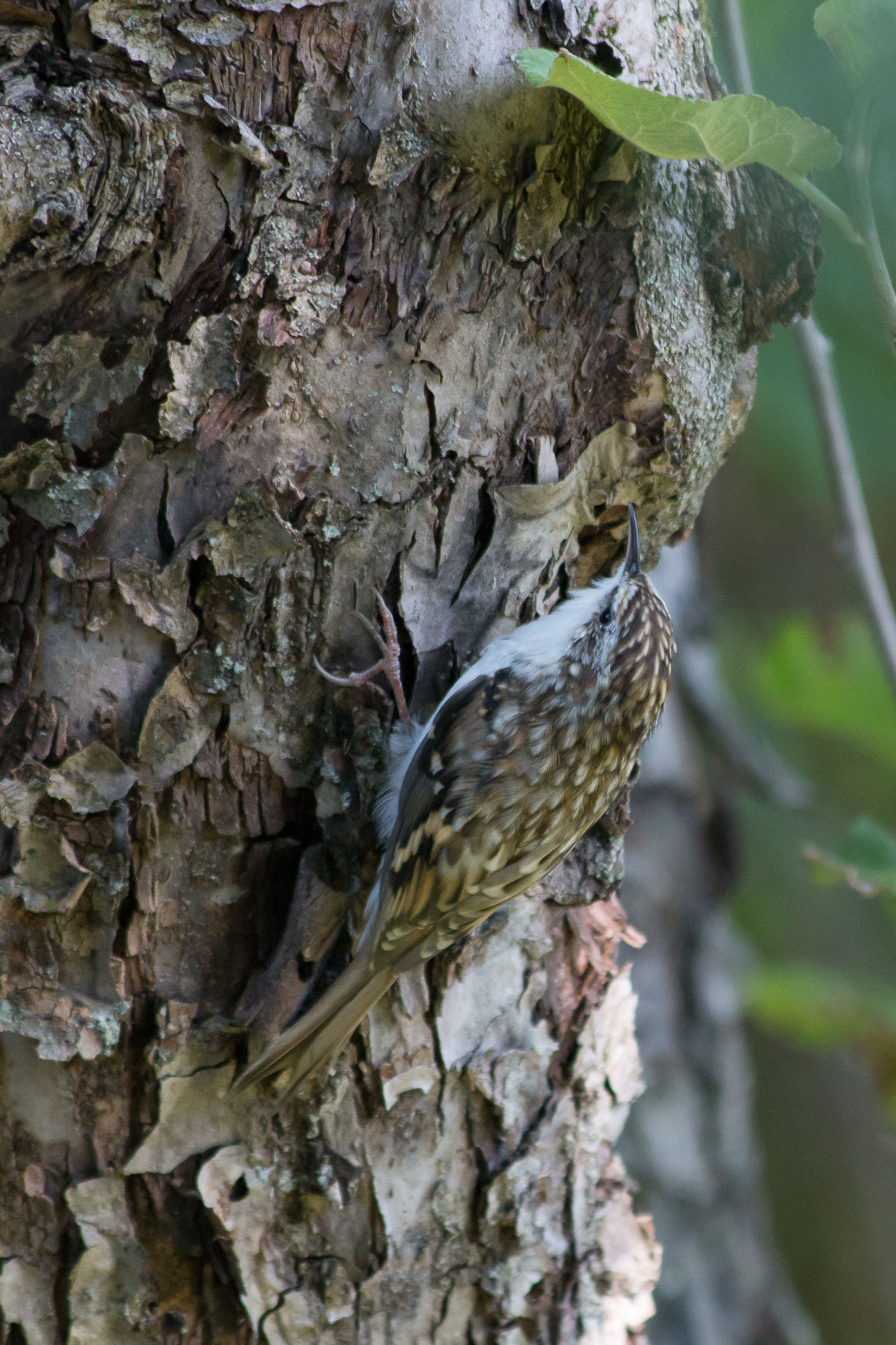 Обыкновенная пищуха (Certhia familiaris). Автор фото: Сутормина Марина