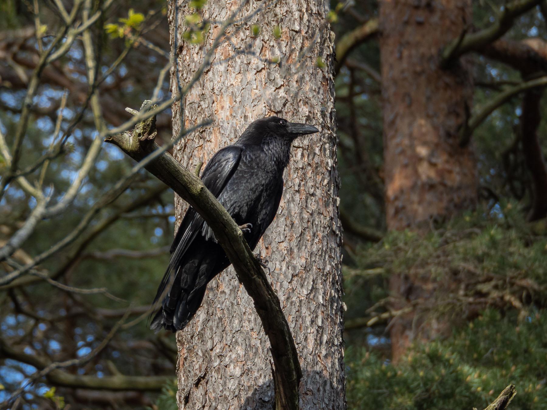 Ворон (Corvus corax). Автор фото: Сутормина Марина