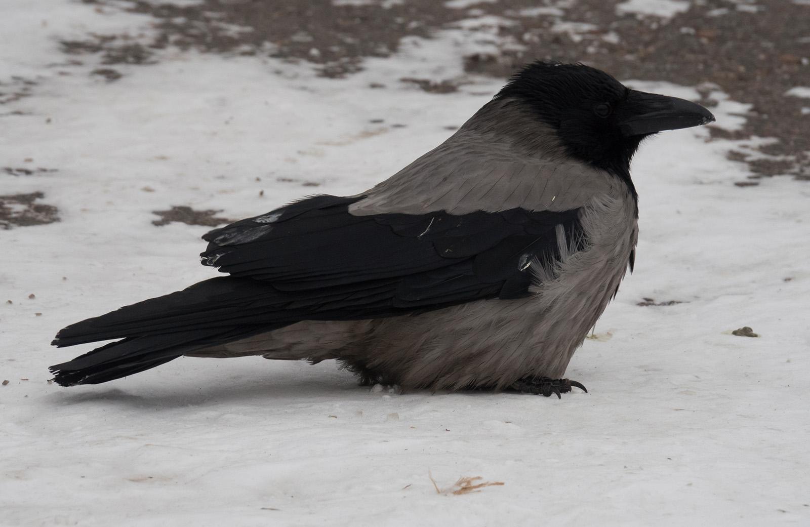 Серая ворона (Corvus cornix). Автор фото: Сутормина Марина