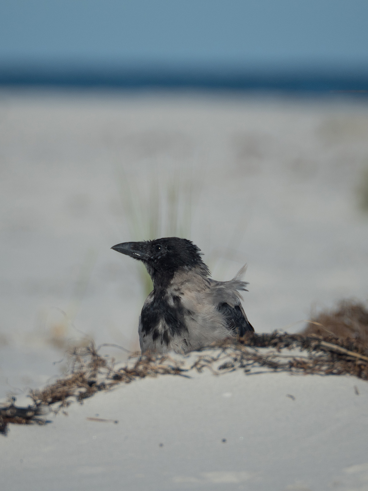 Серая ворона (Corvus cornix) Автор фото: Сутормина Марина