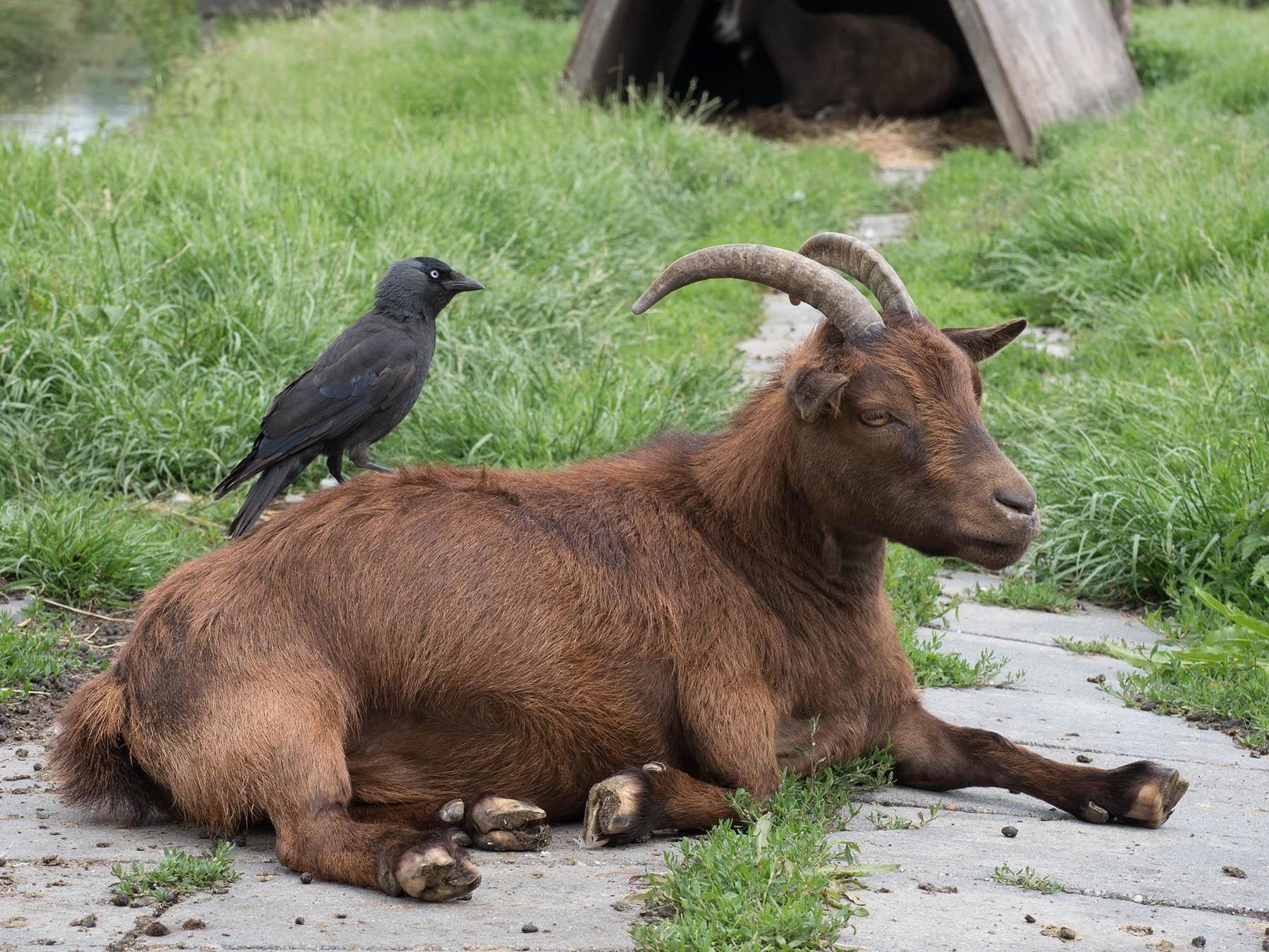 Галка обыкновенная (Corvus monedula). Автор фото: Сутормина Марина