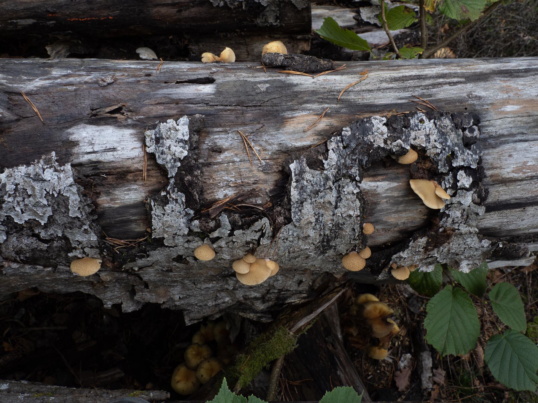 Крепидот красивочешуйчатый (Crepidotus calolepis) в природном парке Görväln, Стокгольм. октябрь 2020 года. Автор фото: Сутормина Марина