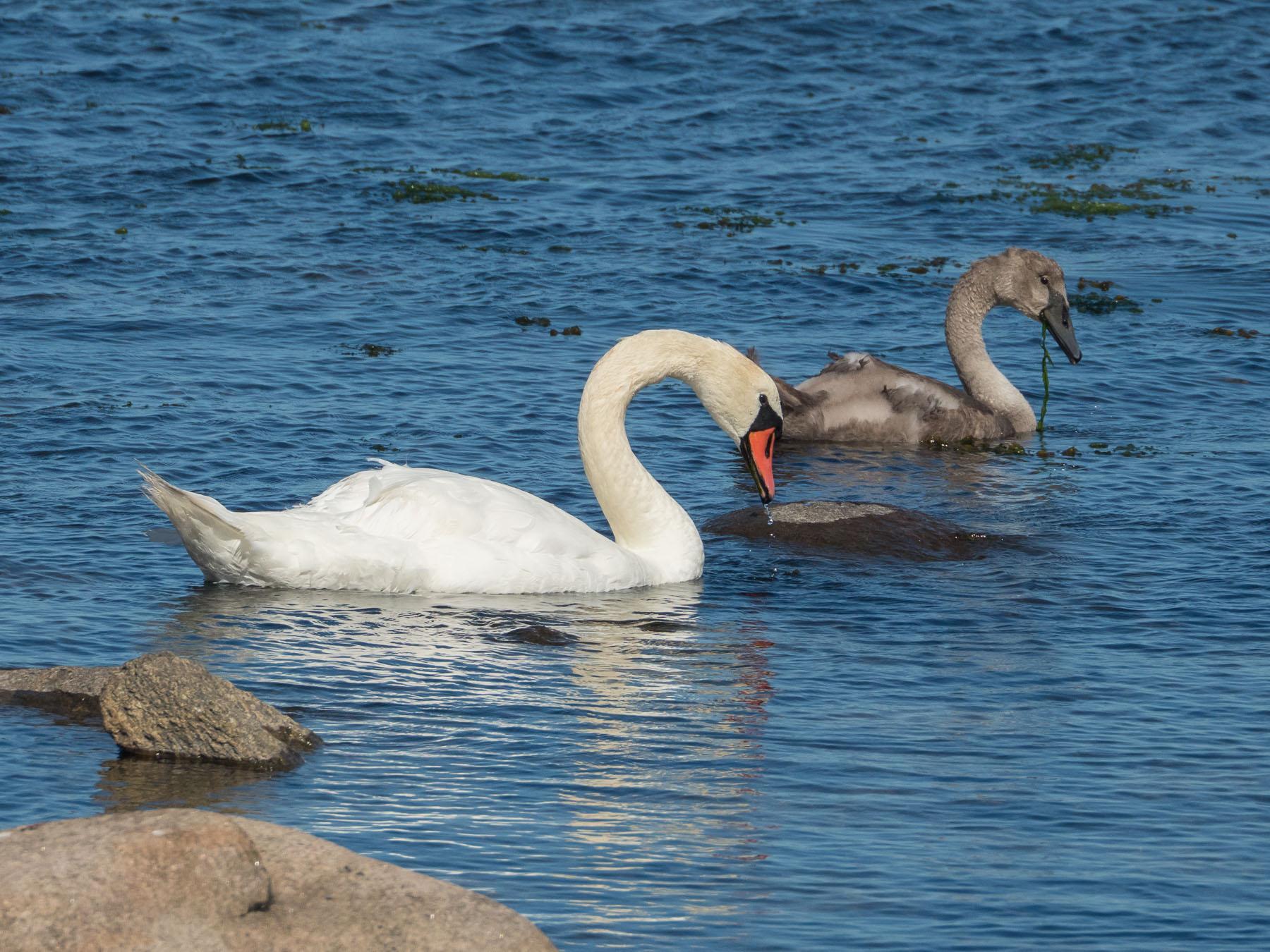 Лебедь-шипун (Cygnus olor) Автор фото: Сутормина Марина