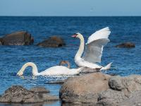 Лебедь-шипун (Cygnus olor). Автор фото: Сутормина Марина