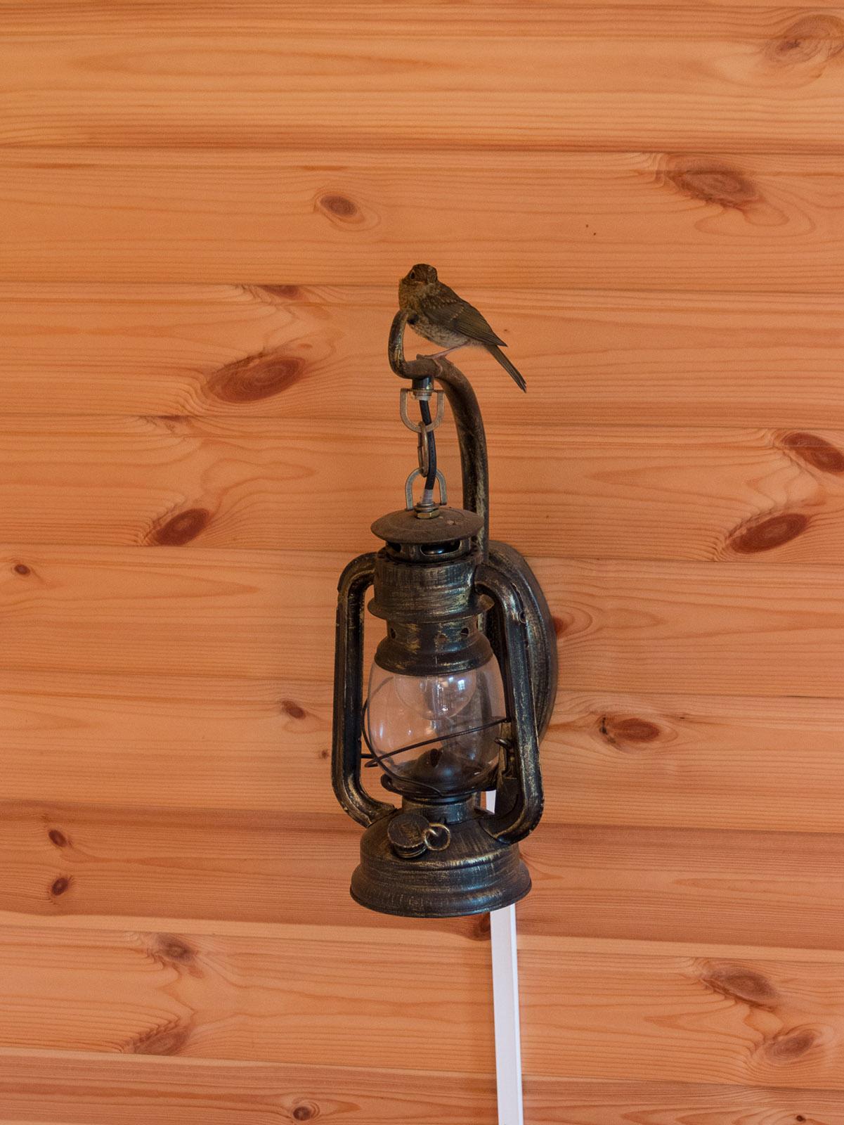 Зарянка (Erithacus rubecula)Выводок зарянок несколько недель жил у нас на подмосковной даче в июле 2015 года. Некоторое время птицы даже ночевали в доме на потолочных балках. Автор фото: Сутормина Марина