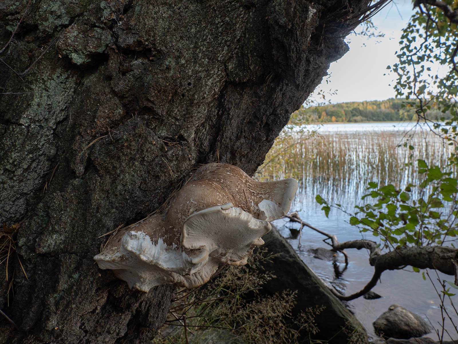 Трутовик березовый (Fomitopsis betulina) на берегу озера Mälaren, Стокгольм, октябрь 2020 года. Автор фото: Сутормина Марина