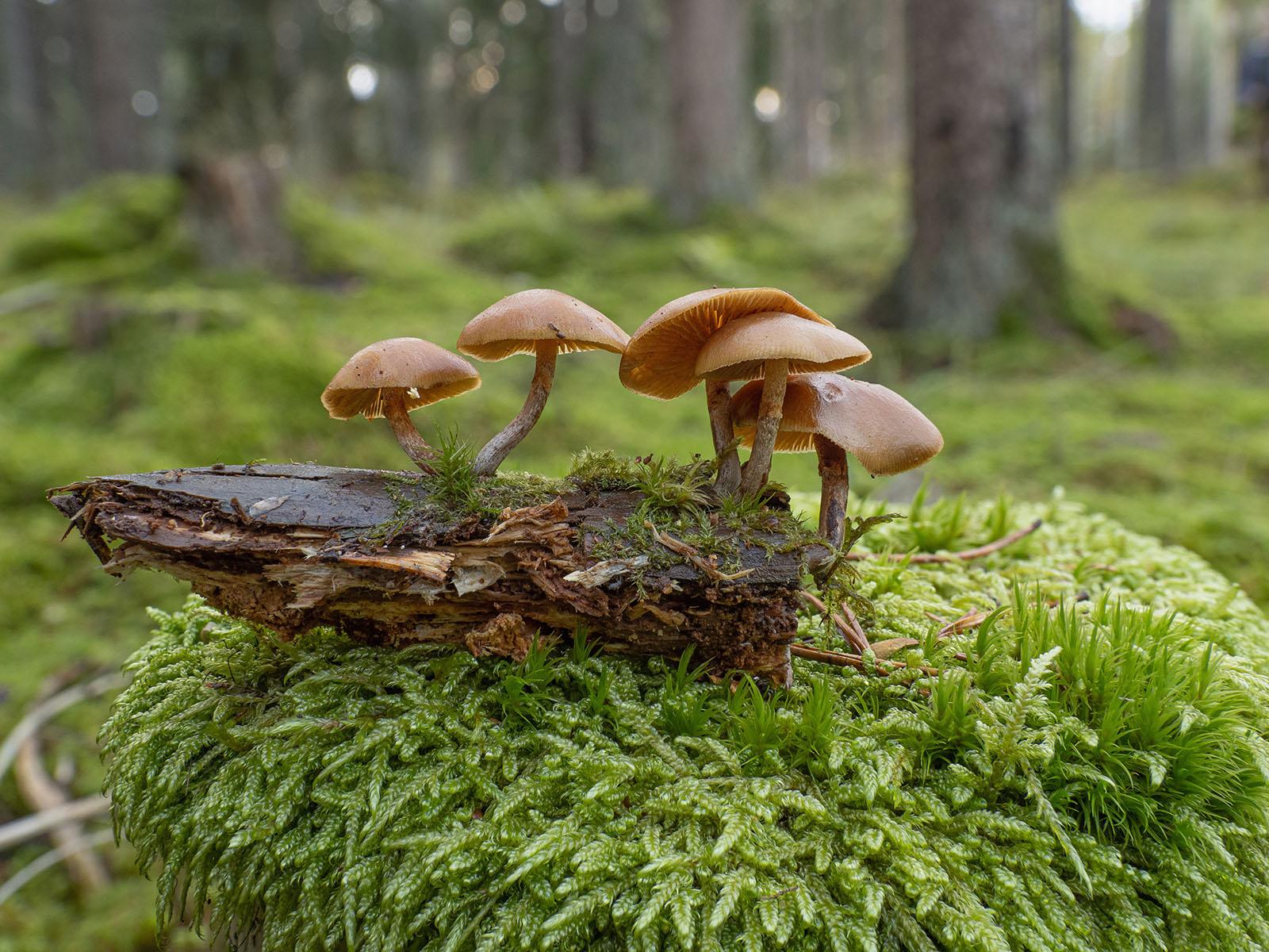 Галерина окаймлённая (Galerina marginata) на трухлявом стволе ели в хвойном лесу, Стокгольм, октябрь 2020 года. Автор фото: Сутормина Марина