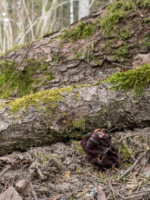 Строчок обыкновенный (Gyromitra esculenta) в природном парке Bornsjön, Стокгольм. Апрель 2020 года. Автор фото: Сутормина Марина