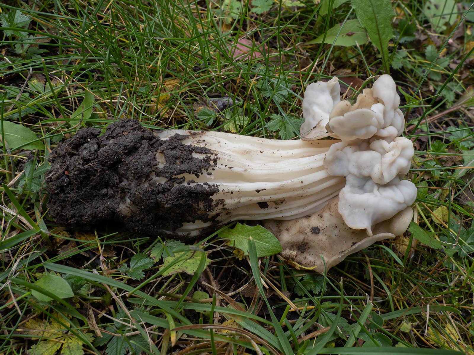 Лопастник курчавый (<a class=fungi target=catalog href=http://mycoweb.ru/GIF/catalog/catalog.php?level=picture&id=583>Helvella crispa</a>). Автор фото: Сутормина Марина