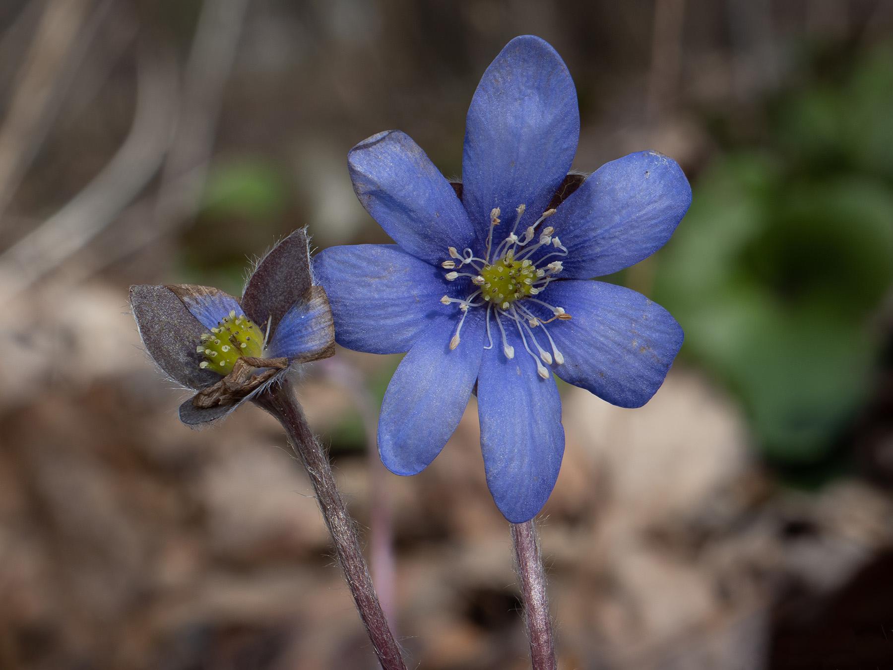 Печёночница благородная (Hepatica nobilis) Автор фото: Сутормина Марина