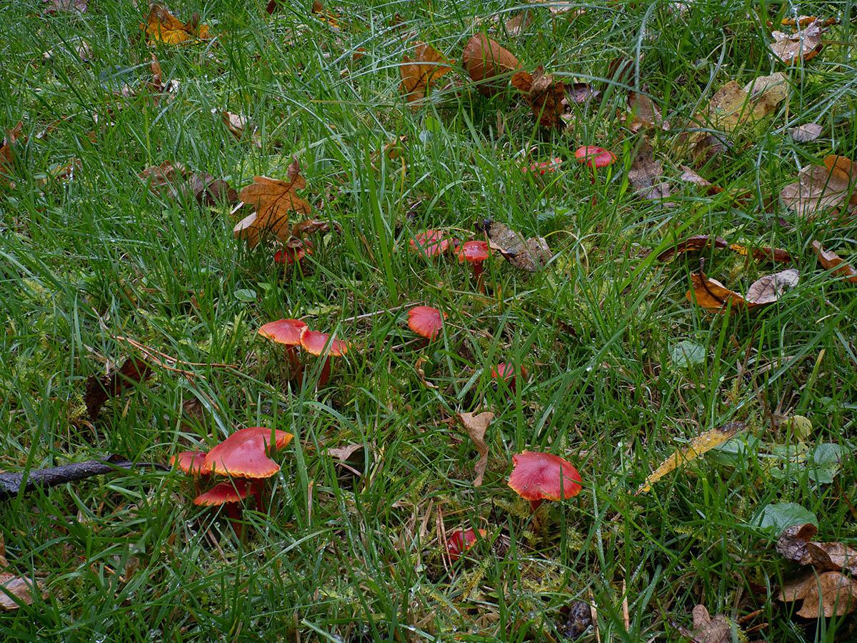 Гигроцибе алая (Hygrocybe coccinea) на пастбище в лесу. Стокгольм, октябрь 2020 года. Автор фото: Сутормина Марина