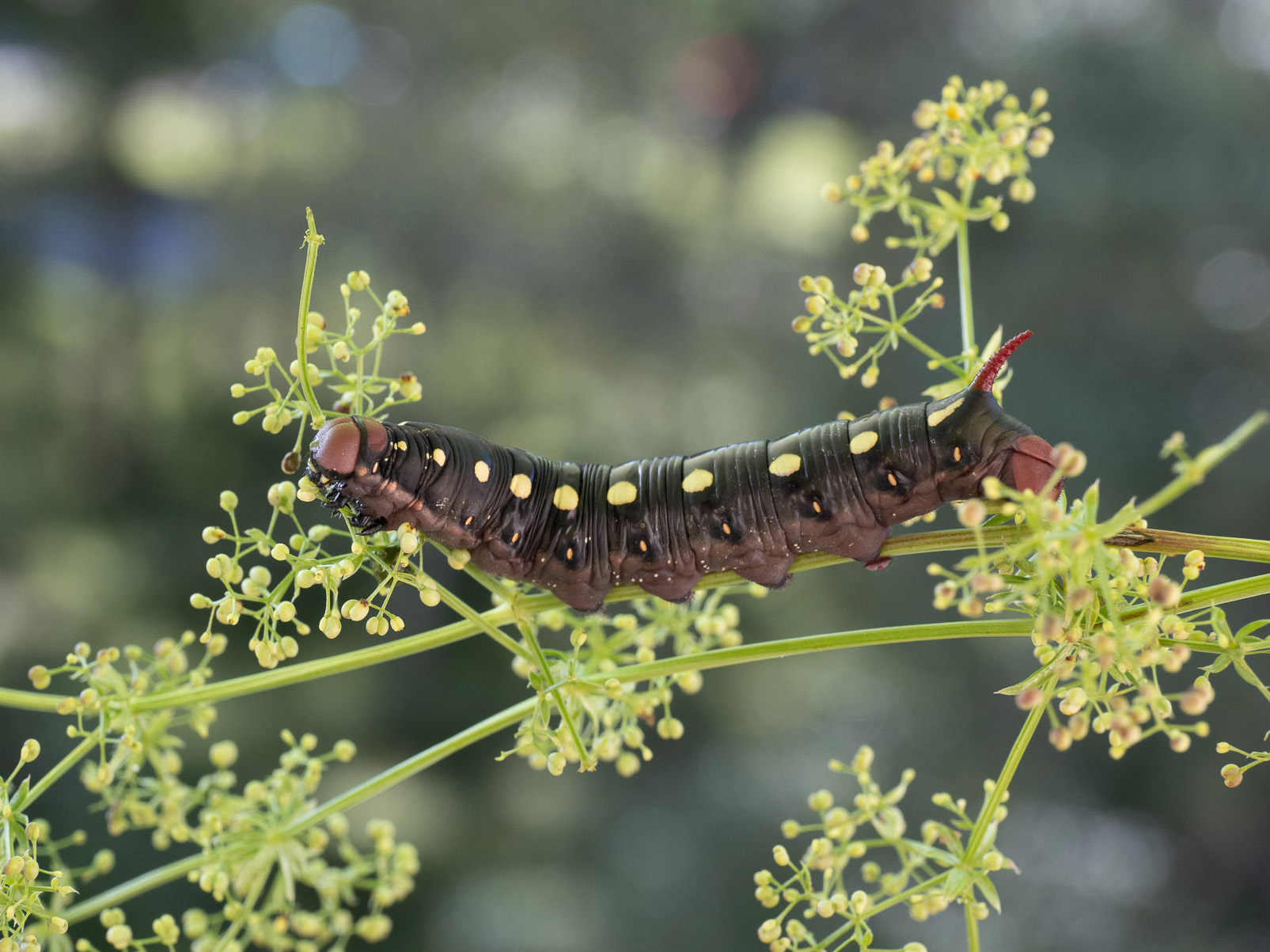 Гусеница бражника подмаренникового (Hyles gallii) в природном парке Görvaln. Автор фото: Сутормина Марина