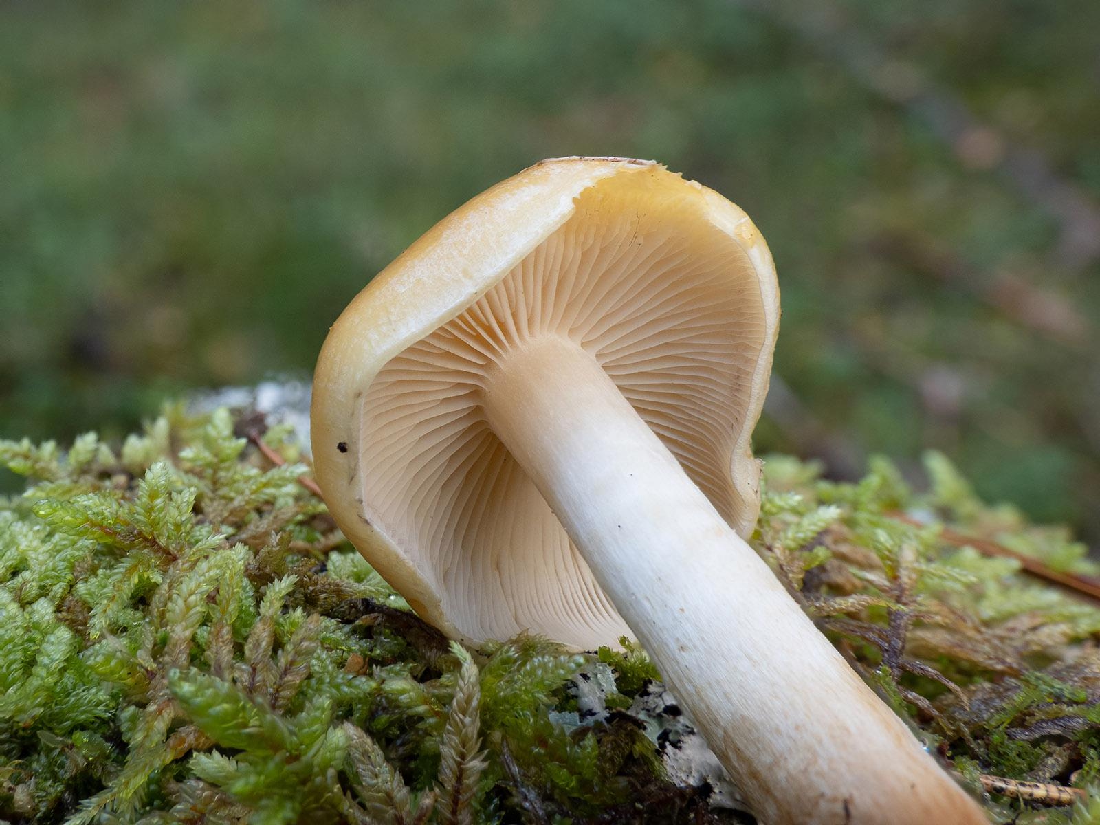 Опёнок серопластинчатый (Hypholoma capnoides) Автор фото: Сутормина Марина