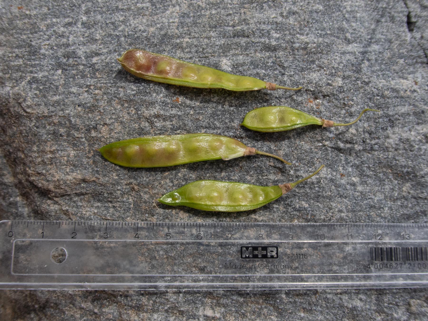 Бобовник альпийский (Laburnum alpinum) Бобовник альпийский (Laburnum alpinum) в окрестностях озера Mälaren, Стокгольм. Июль 2020 года. Автор фото: Сутормина Марина