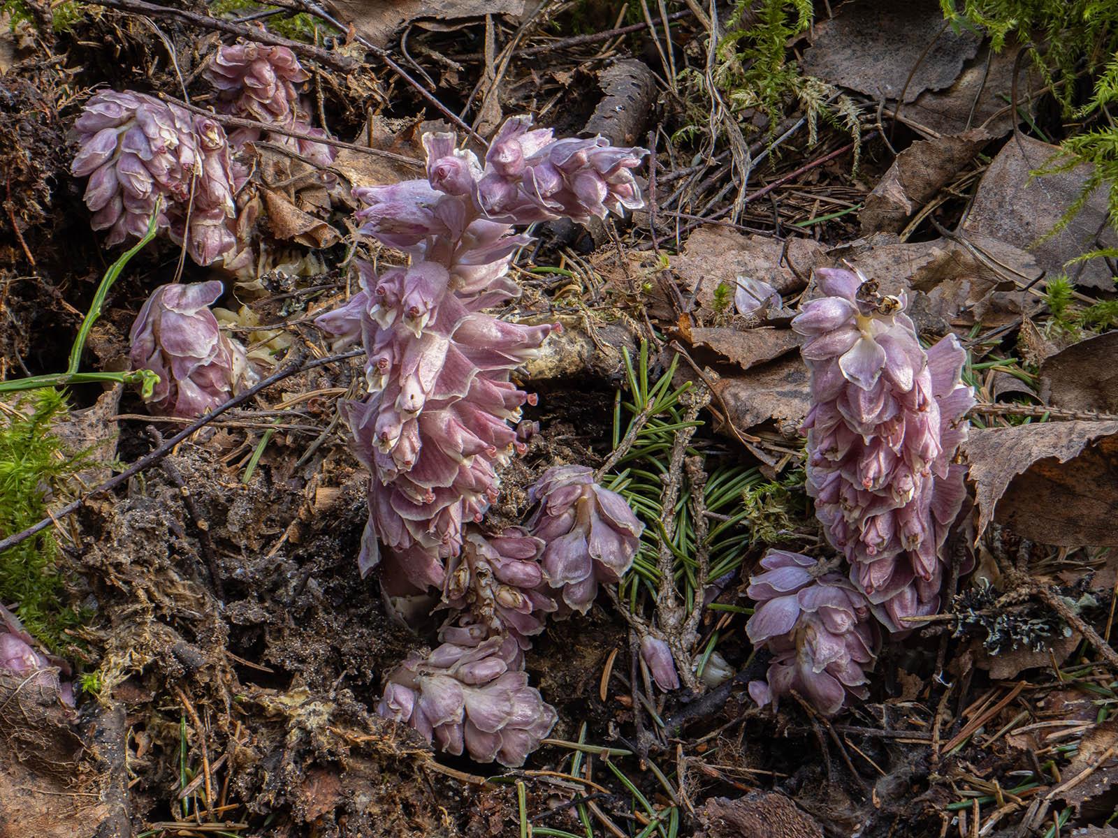 Петров крест чешуйчатый (Lathraea squamaria) паразитирующий на елях и берёзах в природном парке Görvaln, Стокгольм, 9 апреля 2020 года. Автор фото: Сутормина Марина