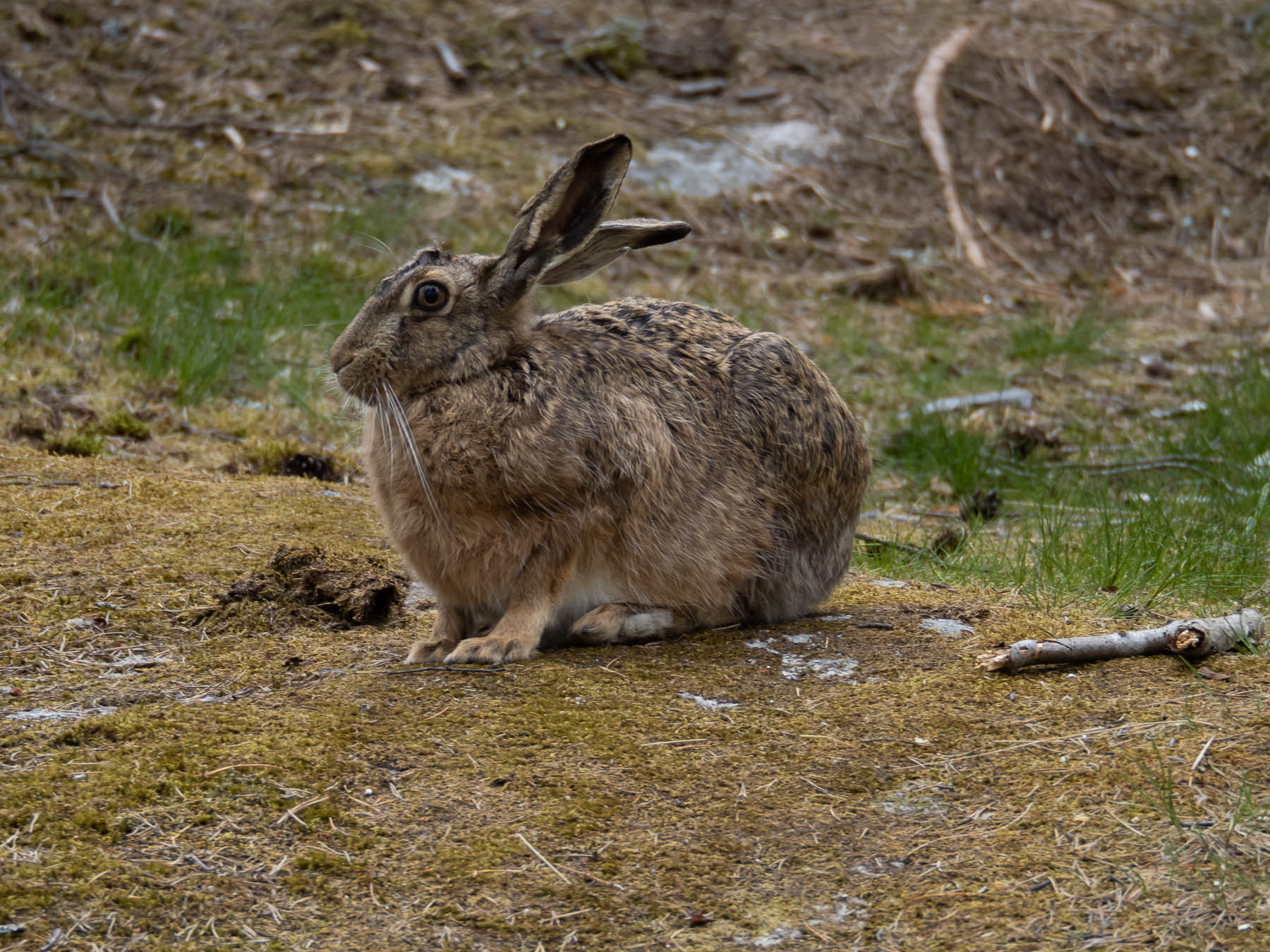 Заяц-русак (Lepus europaeus). Автор фото: Сутормина Марина