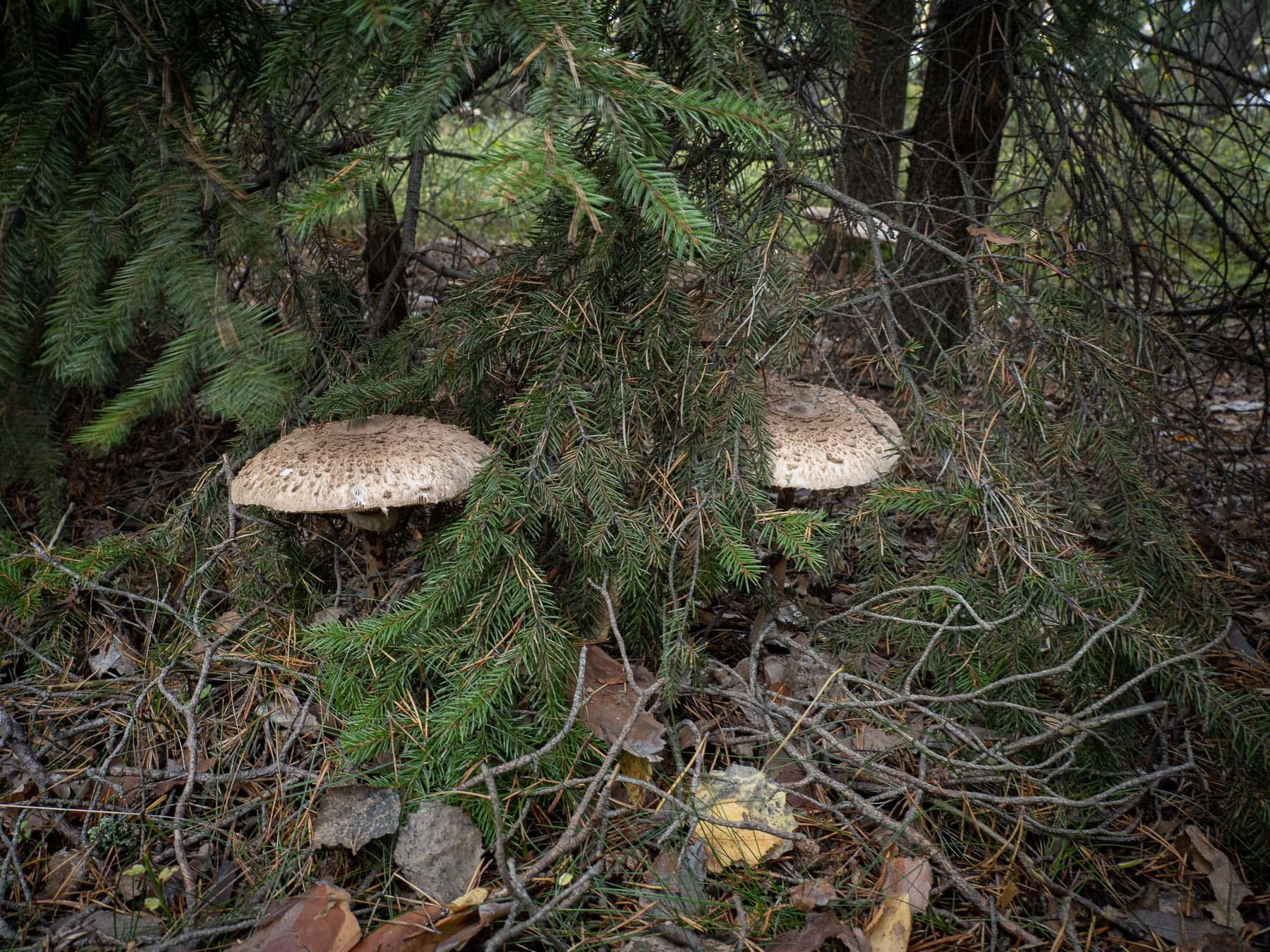 Гриб-зонтик высокий (Macrolepiota procera) в природном парке Görväln, Стокгольм. октябрь 2020 года. Автор фото: Сутормина Марина