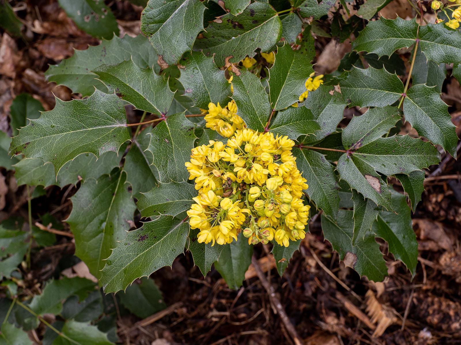 Магония падуболистная (Mahonia aquifolium). Стокгольм, май 2020 года. Автор фото: Сутормина Марина