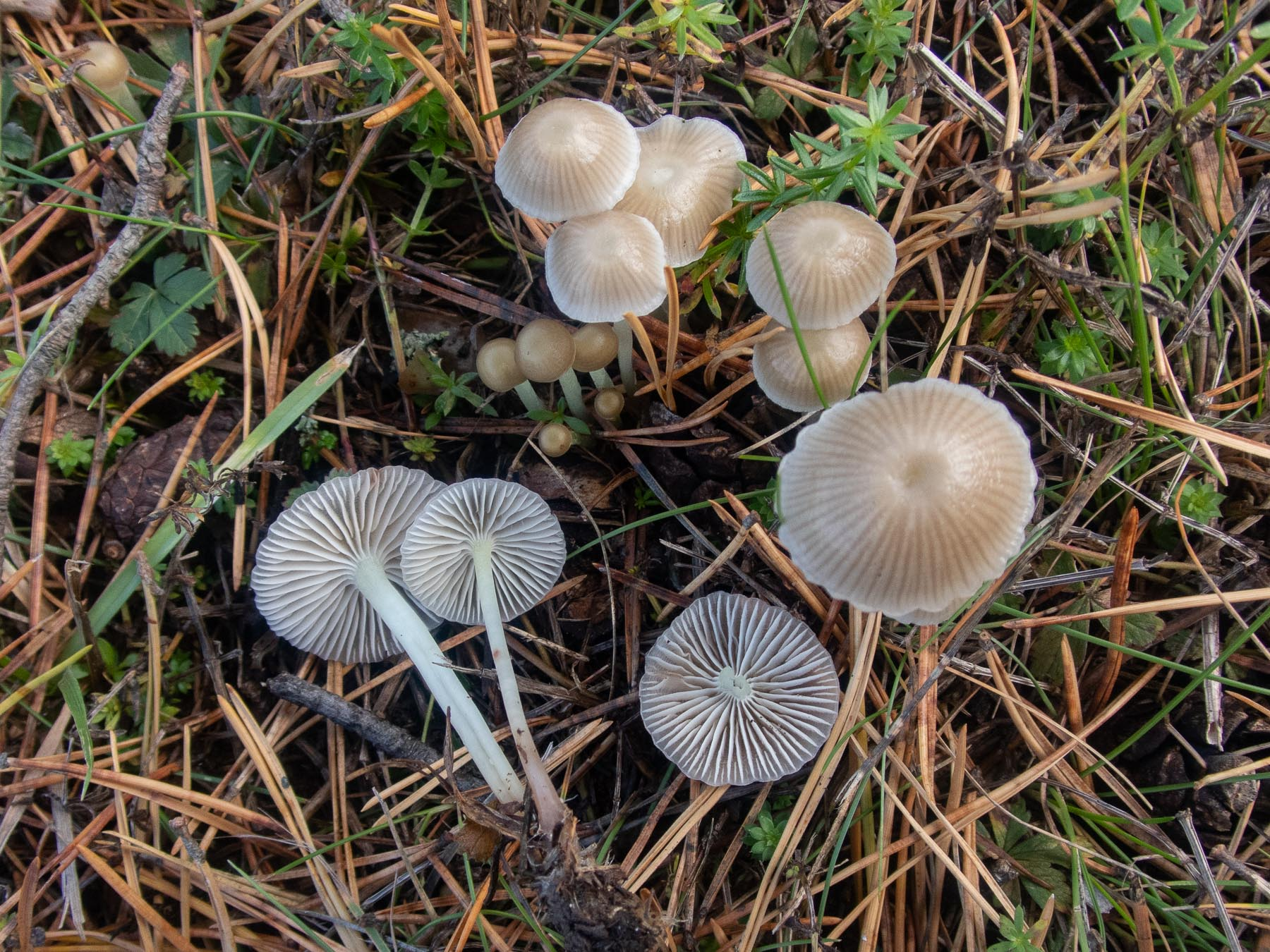 Мицена слизистая (Mycena epipterygia). Автор фото: Сутормина Марина