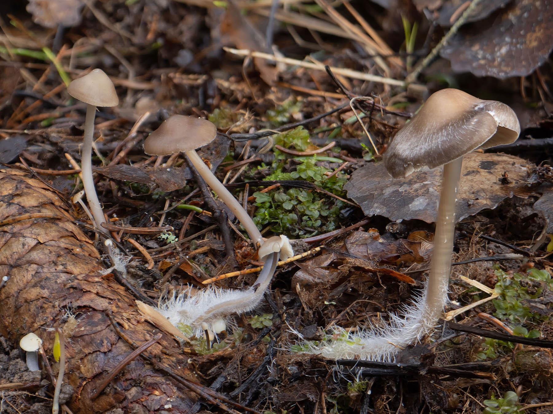 Мицена шишколюбивая (Mycena plumipes - принятое в Скандинавии имя для Mycena strobilicola) на еловых шишках в природном парке Görväln, Стокгольм, март 2020 года. Автор фото: Сутормина Марина
