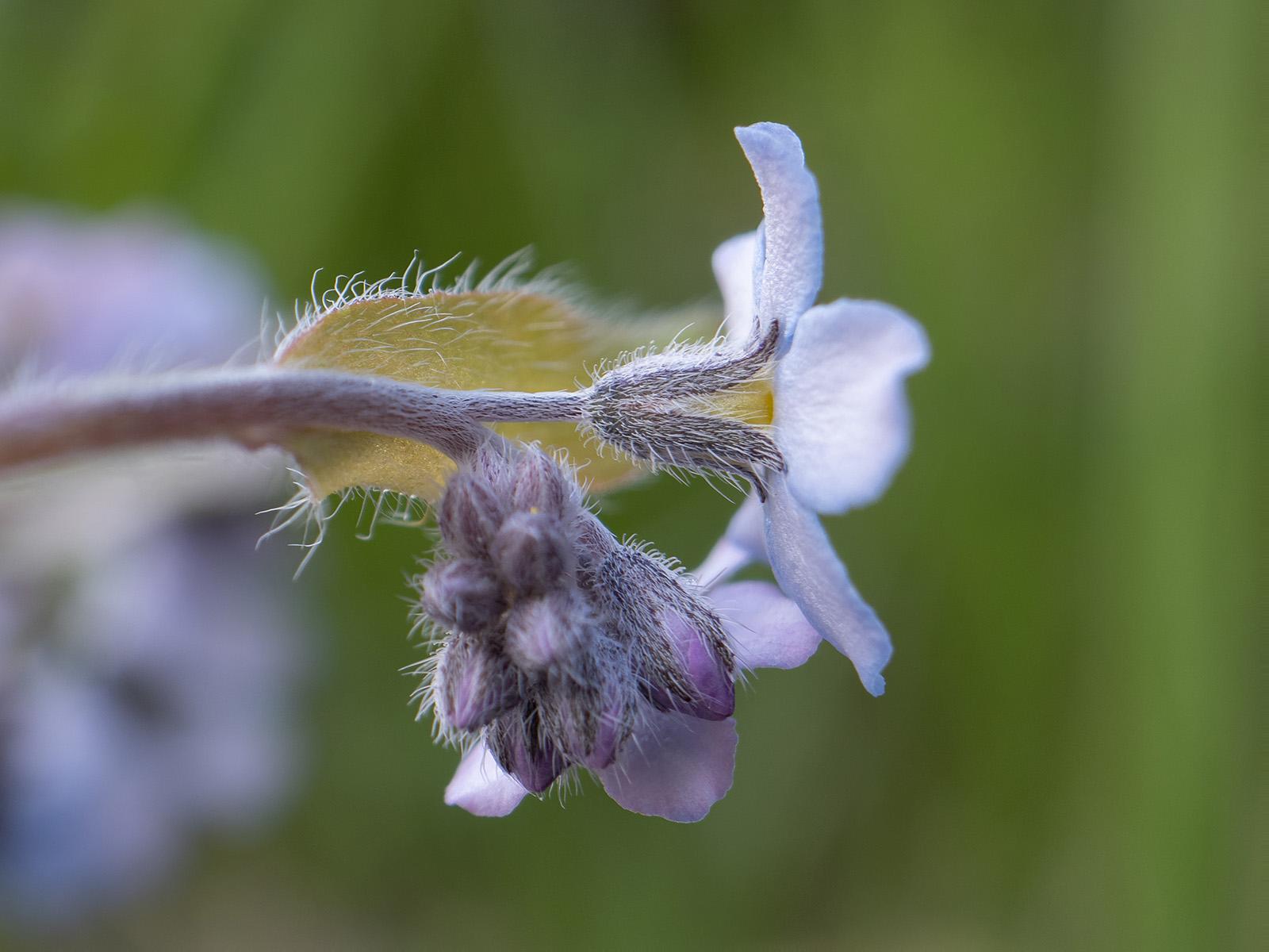 Незабудка лесная (Myosotis sylvatica) Автор фото: Сутормина Марина