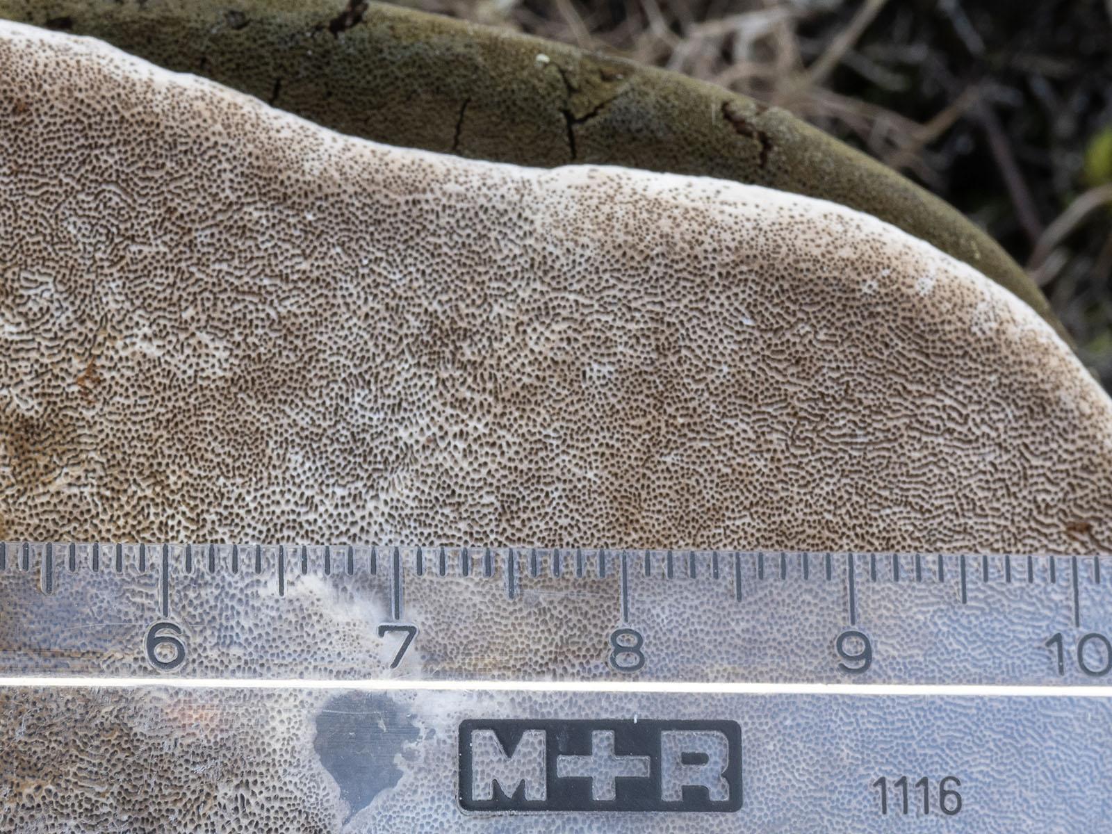 Трутовик ложный ольховый (Phellinus igniarius f. alni).  На валежных и живых деревьях (Alnus glutinosa) на берегу озера Mälaren, Стокгольм, апрель 2020 года.  В шведской систематике выделяется в самостоятельный вид - Phellinus alni. Автор фото: Сутормина Марина