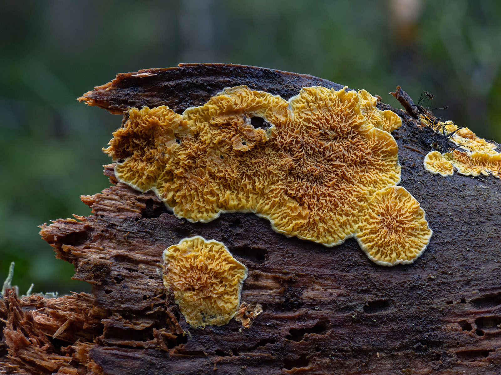 Псевдомерулиус золотистый (Pseudomerulius aureus). Автор фото: Сутормина Марина