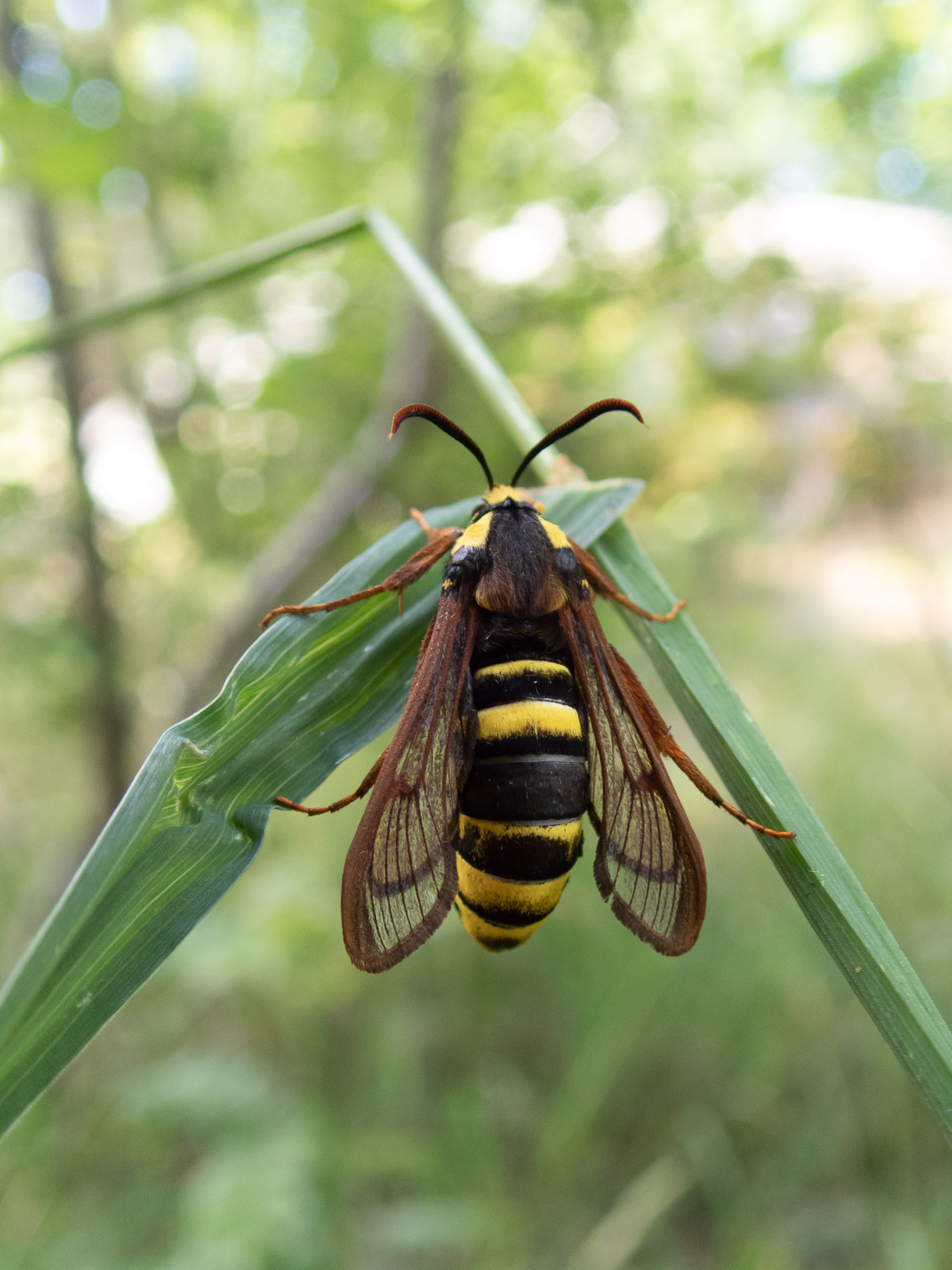 Стеклянница тополёвая большая (Sesia apiformis)Стеклянница тополёвая большая (Sesia apiformis) - очень интересная бабочка, которой свойственна бейтсовская мимикрия - защитный механизм, при котором съедобный вид имитирует несъедобный или ядовитый и становится непривлекательным для хищников. Тополёвая стеклянница имитирует не только окрас шершней, но и их размер и манеру полёта, таким образом отпугивая желающих полакомиться собой. Автор фото: Сутормина Марина