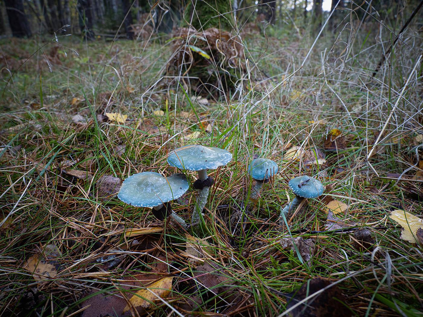 Строфария сине-зелёная (Stropharia aeruginosa) в еловом лесу, Стокгольм, октябрь 2020 года. Автор фото: Сутормина Марина