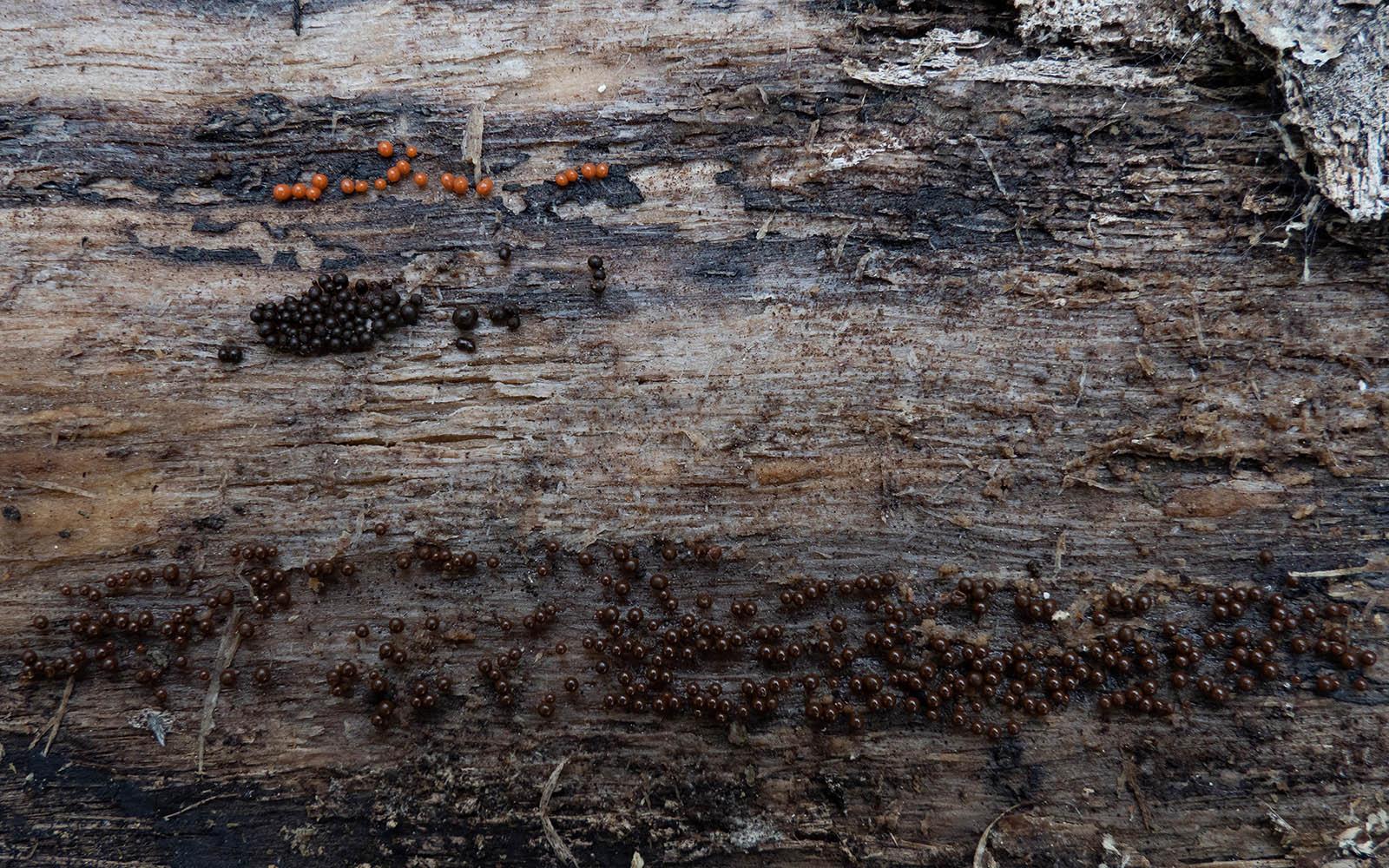 Трихия обманчивая (Trichia decipiens) Автор фото: Сутормина Марина