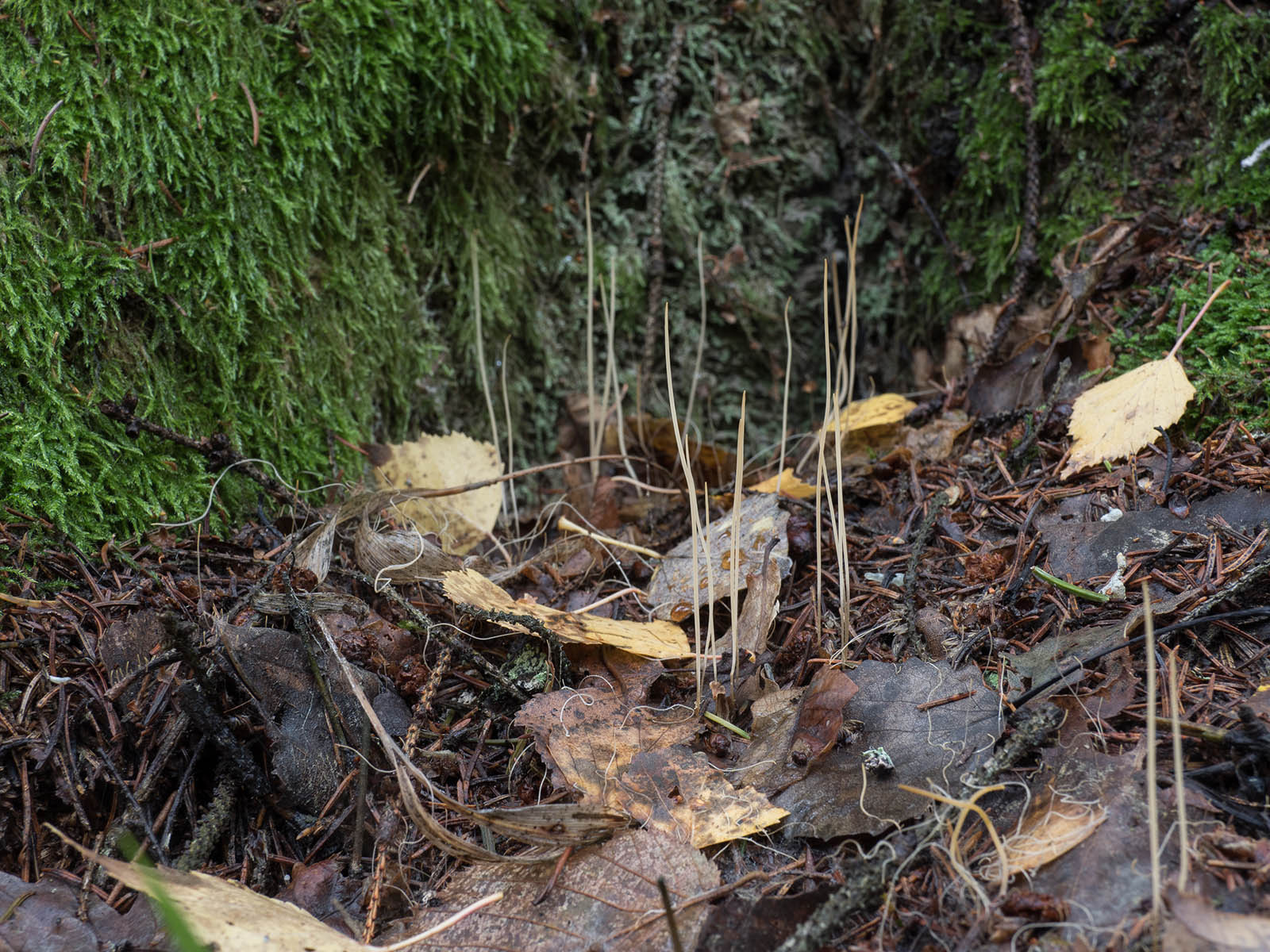 Typhula juncea (синонимы: Macrotyphula juncea, Clavariadelphus junceus) растущие на лиственном опаде в природном парке Görvälns naturreservat, октябрь 2019 года. Автор фото: Сутормина Марина
