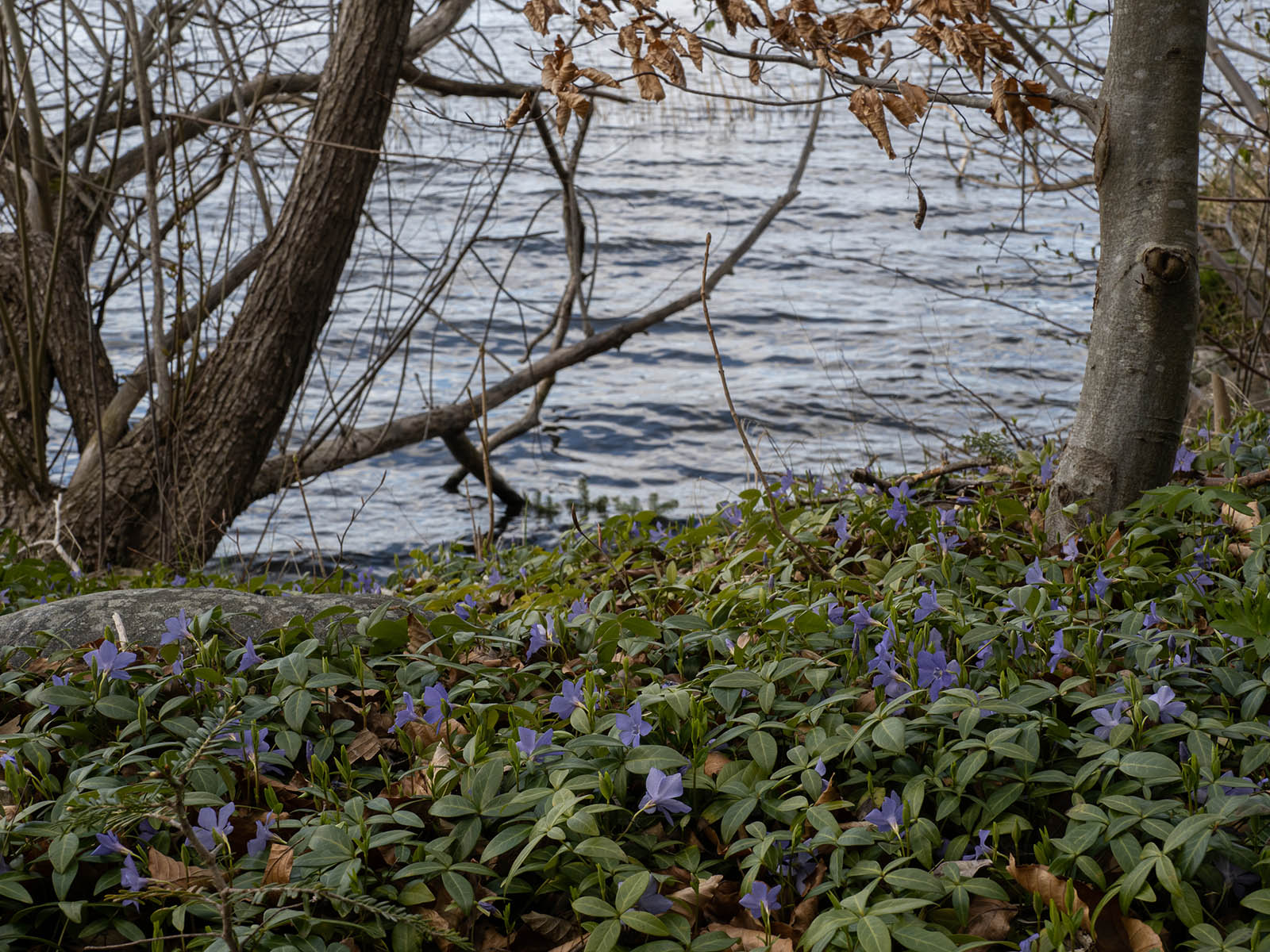 Барвинок малый (Vinca minor) на берегу озера Mälaren, Стокгольм, апрель 2020 года. Автор фото: Сутормина Марина