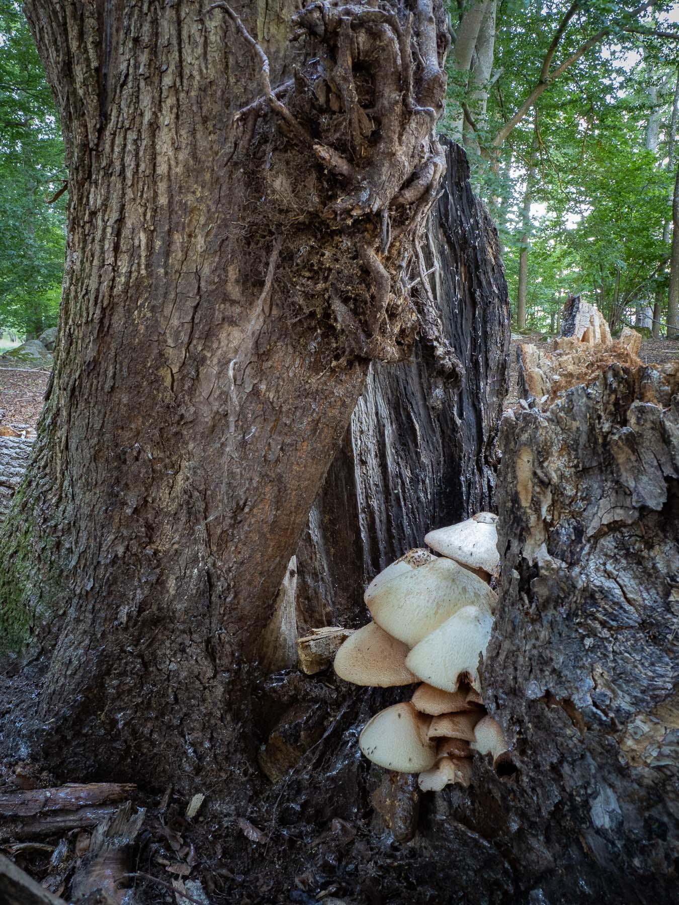 Вольвариелла шелковистая (Volvariella bombycina) в буково-ольховом лесу, Стокгольм, июль 2020 года. Автор фото: Сутормина Марина