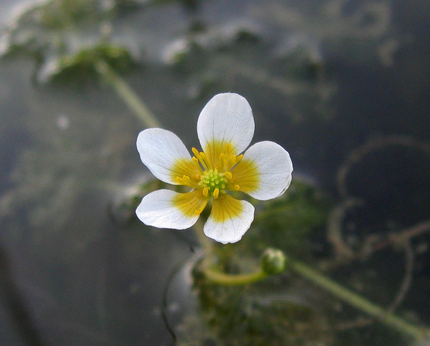 Шелковник жестколистный (Ranunculus circinatus). Автор фото: Олег Селиверстов