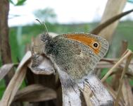 s:бабочки,s:дневные бабочки