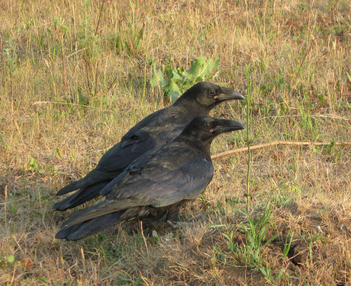 Ворон (Corvus corax) Автор: Олег Селиверстов