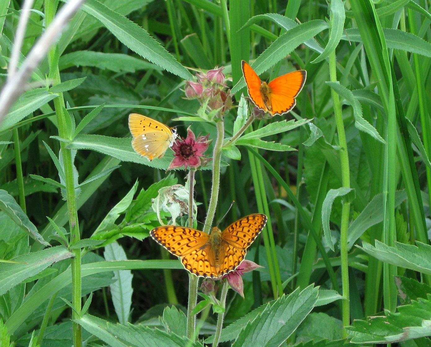 Бабочки на сабельнике болотном. Автор фото: Олег Селиверстов