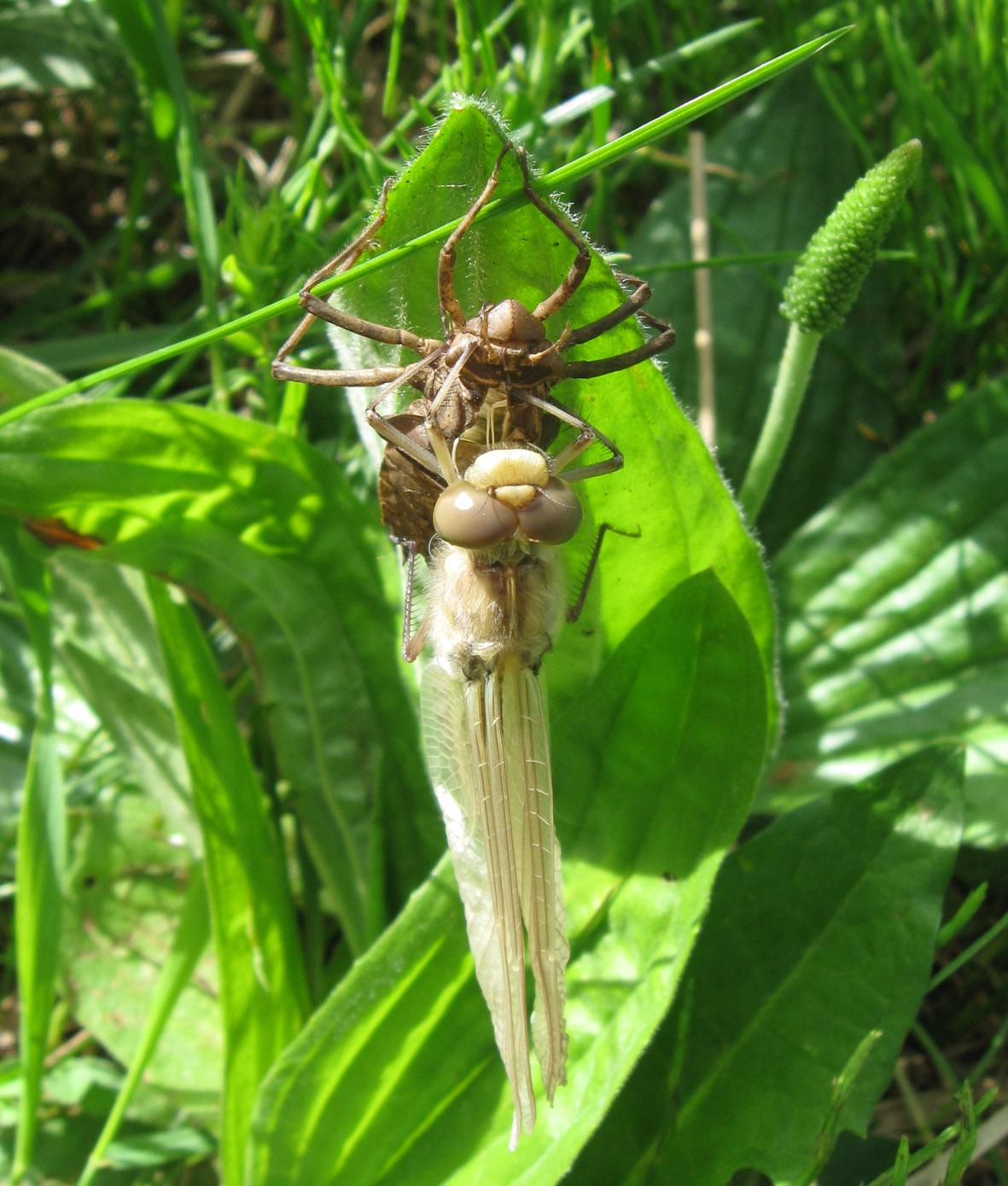 Плоскобрюх четырёхпятнистый (Libellula quadrimaculata). Автор: Олег Селиверстов