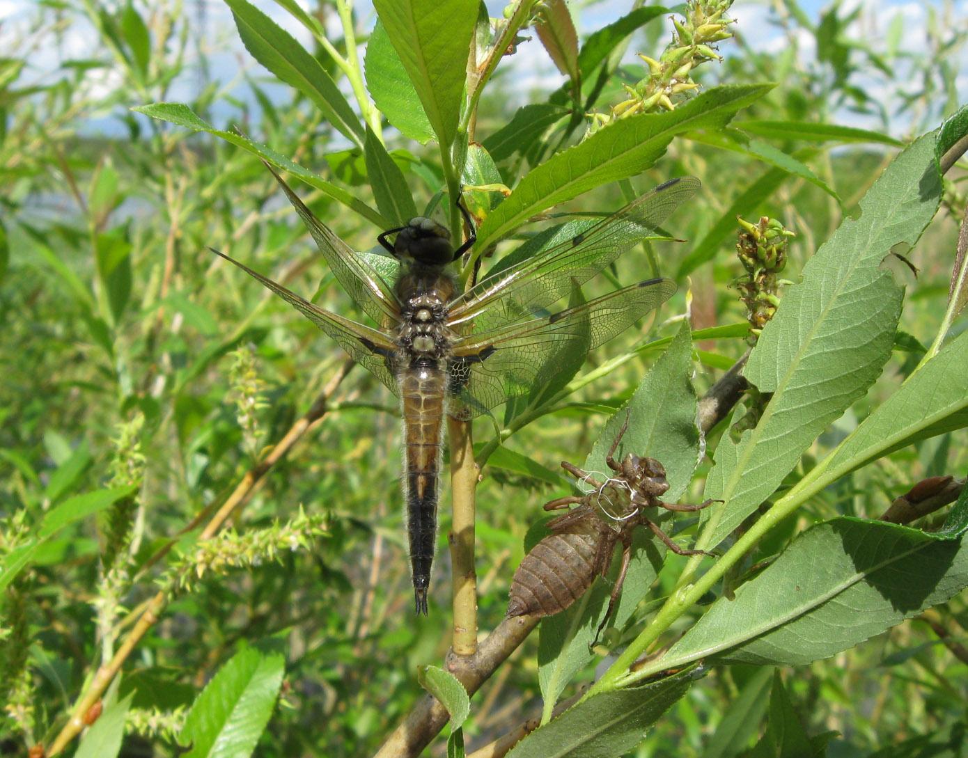 Плоскобрюх четырёхпятнистый (Libellula quadrimaculata) Автор: Олег Селиверстов