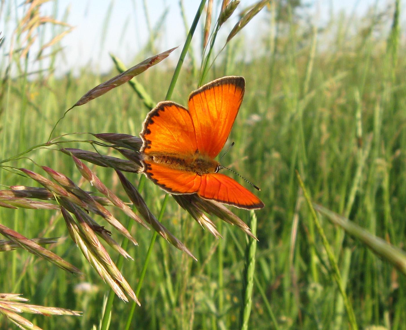 Червонец огненный, или многоглазка огненная (Lycaena virgaureae) — дневная бабочка из семейства голубянок. Автор фото: Олег Селиверстов