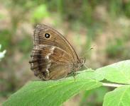 s:бабочки,s:дневные бабочки,c:коричневые